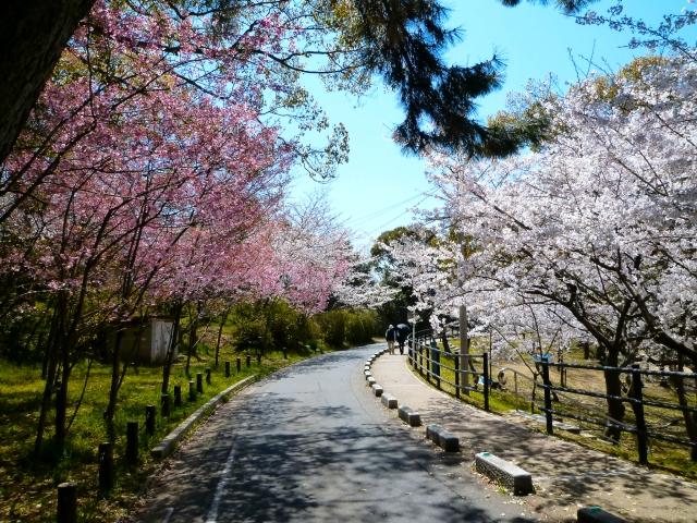 Cherry blossoms in Nishi Park, Fukuoka