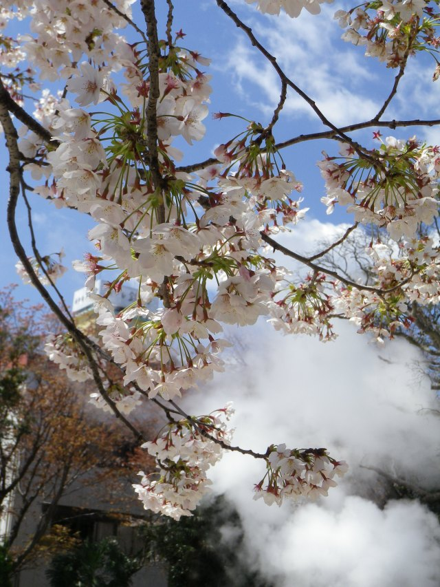 Cherry blossoms and steam from hot springs in Kannawa Onsen (Beppu)